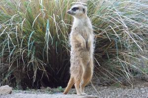 Meerkat Edinburgh Zoo Lates