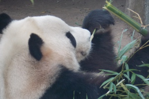 Panda Edinburgh Zoo Lates